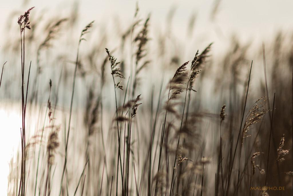 Gräser im Licht-3