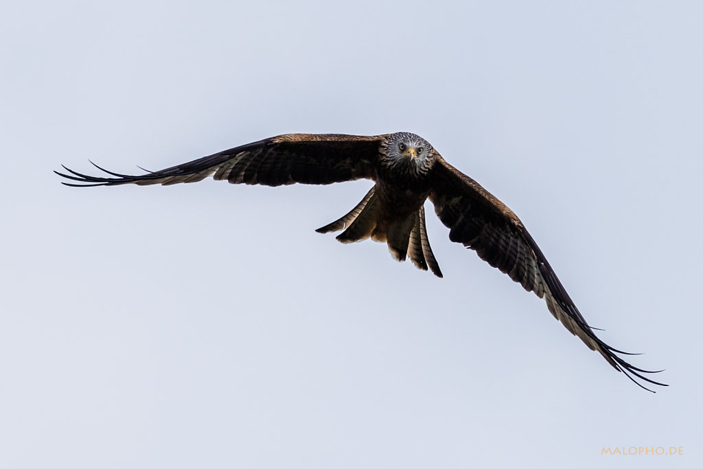 Rotmilan Wild Flug