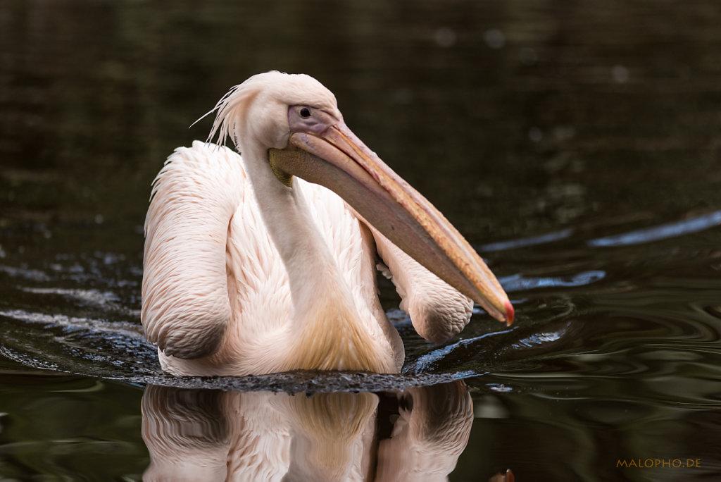 Pelikan rosa schwimmt