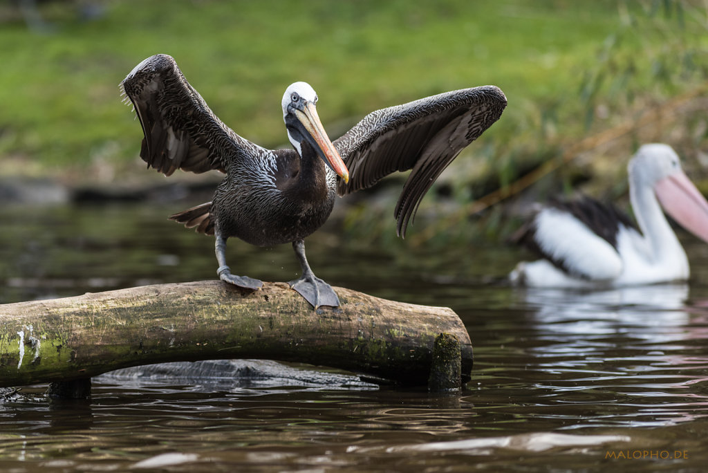 Pelikan schwarz-2