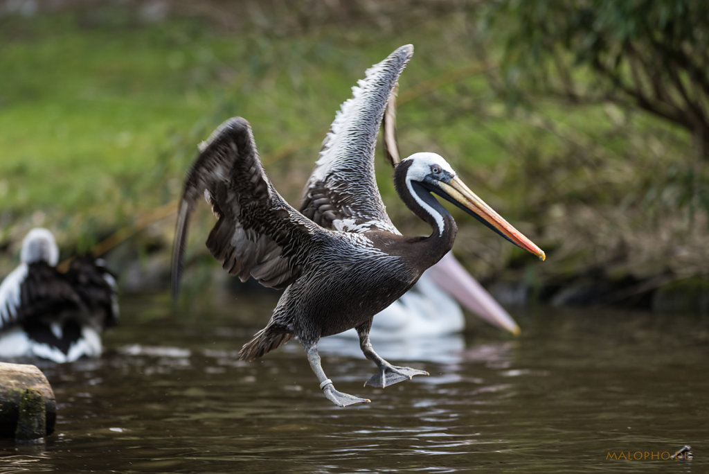 Pelikan schwarz-4