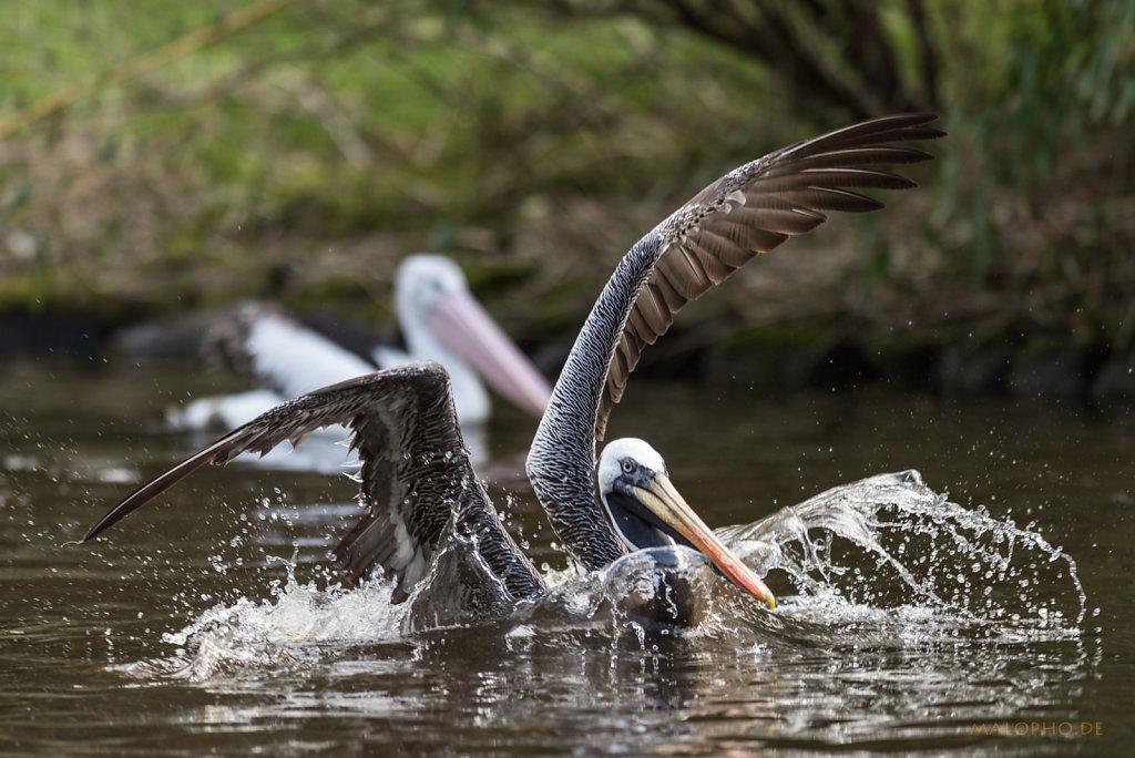 Pelikan schwarz-5