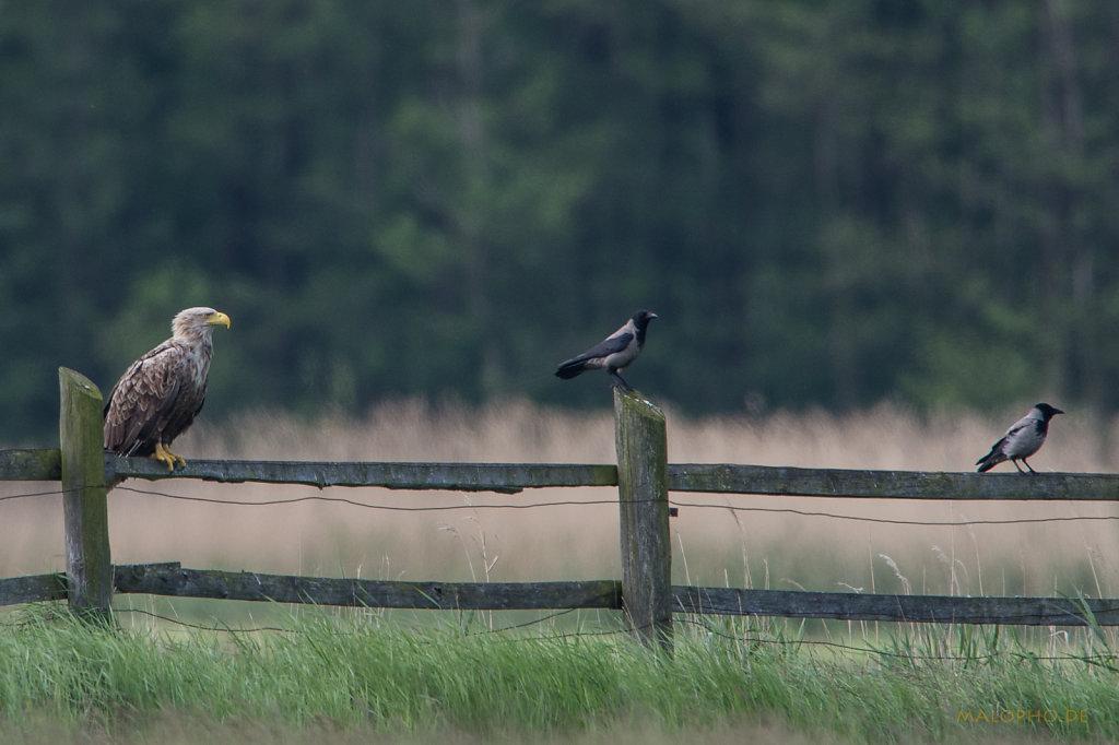 Adlerkrähen