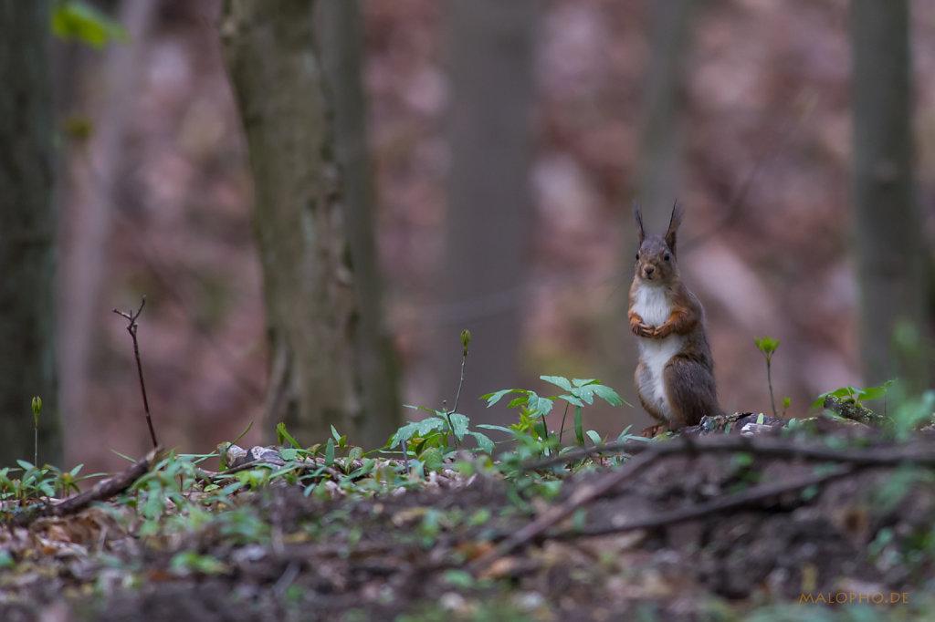 Eichhörnchen Boden-2