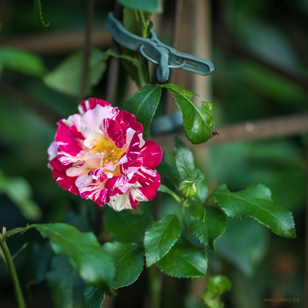 Gartenrose Gestreift
