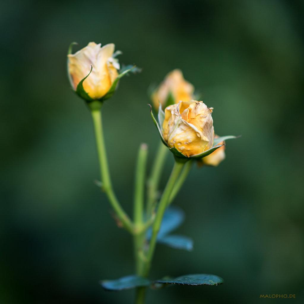 Gartenrose Gelb